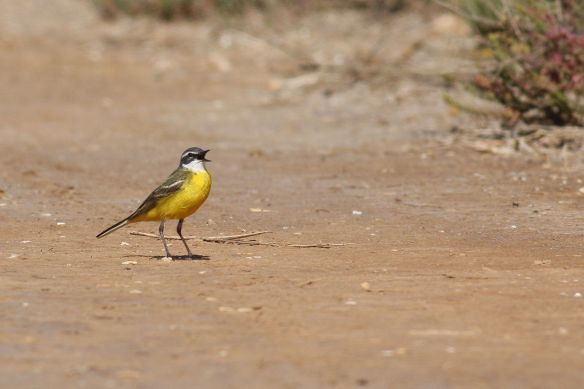 Yellow wagtail, Tavira, 9 March 2012