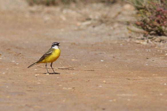 Yellow wagtail, Tavira, 9 March 2012