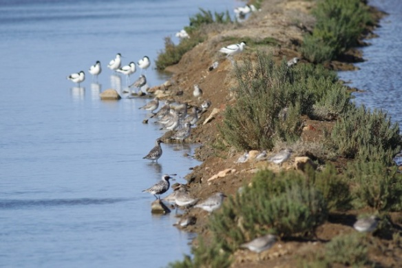 Grey plovers and avocets, Tavira, 13 April 2012