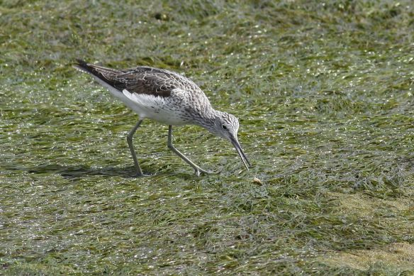 Greenshank, Cabanas, 11 April 2012