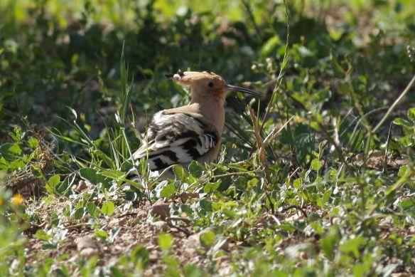 Hoopoe, Tavira, 9 April 2012