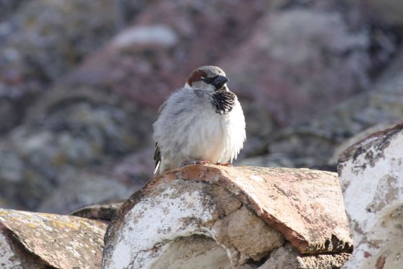 House sparrow, Tavira, 9 April 2012