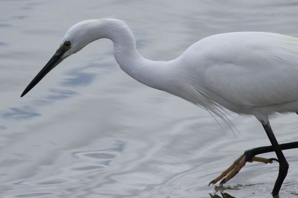 Little egret, Cabanas, 11 April 2012