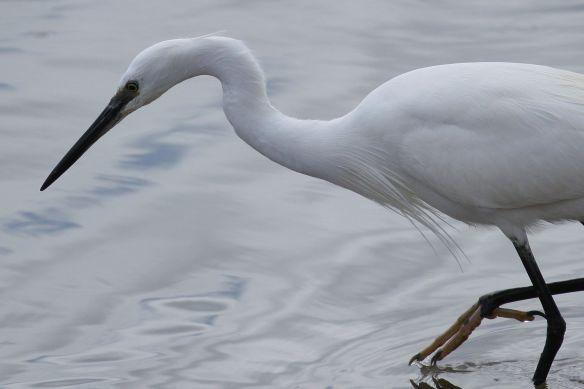 Little egret, Cabanas, 11 April 2012