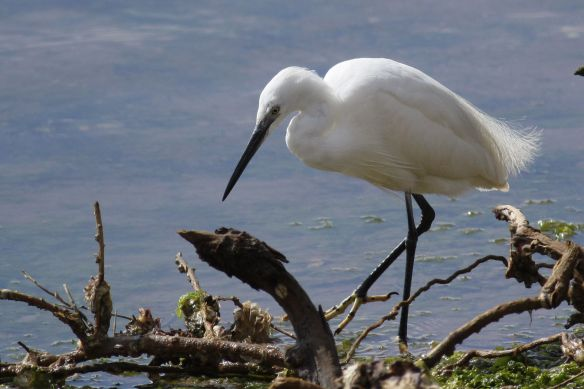 Little egret, Cacela Velha, 11 April 2012