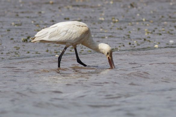 Juvenile spoonbill near Tavira, 12 April 2012