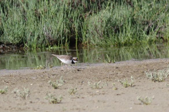 Little ringed plover, Tavira, 7 Sepember