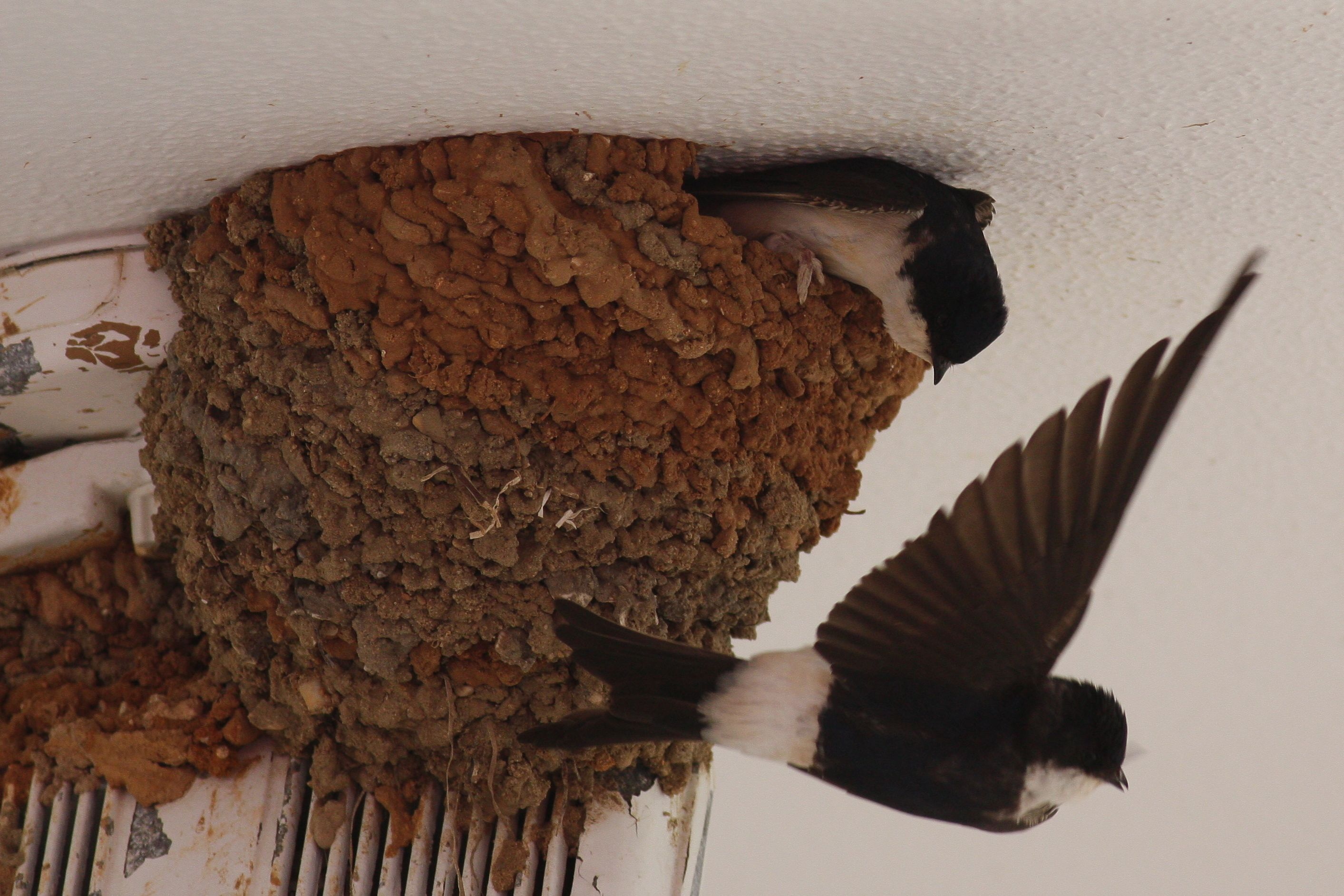 House martin building nest