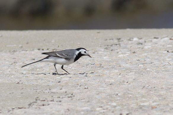 Pied wagtail, Tavira, 8 April 2012