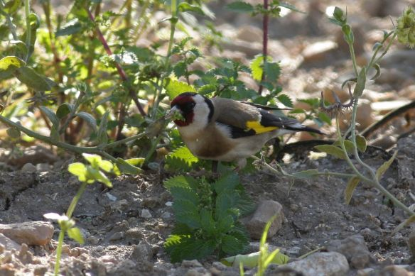 Goldfinch, Tavira, 9 April 2012