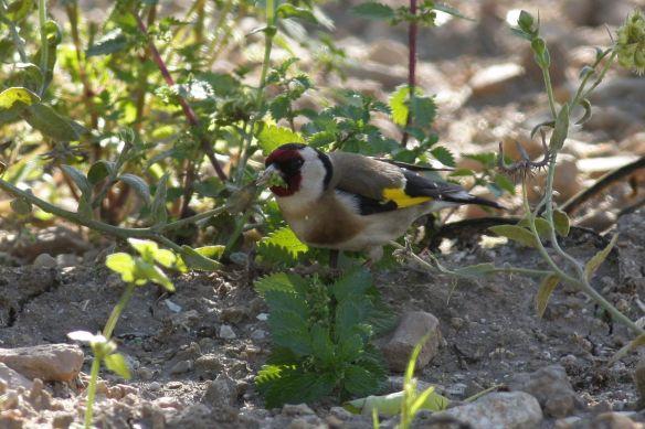 Goldfinch, Tavira, 9 April 2012