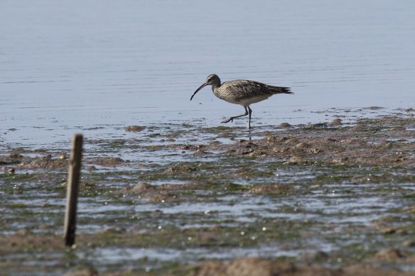 Whimbrel, Cacela Velha, 11 April 2012