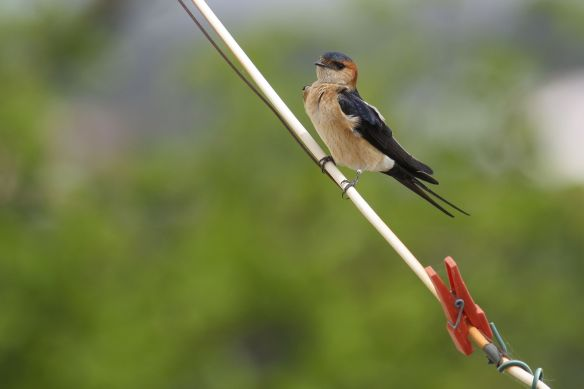 Red-rumped swallow, Cacela Velha, 11 April 2012