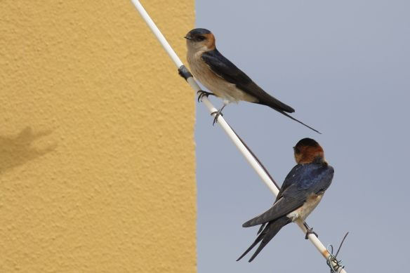 Red-rumped swallows, Cacela Velha, 11 April 2012