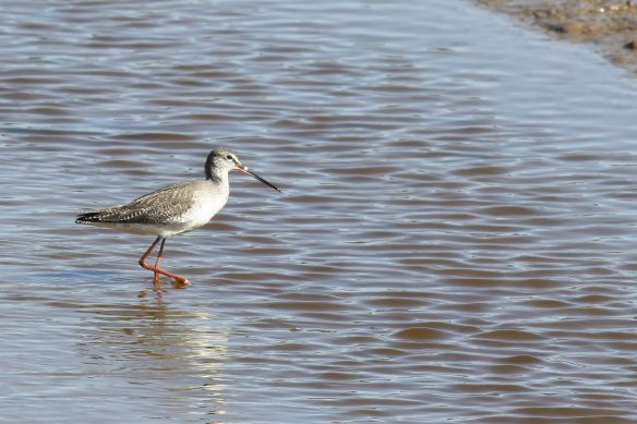 Spotted redshank, Tavira, 8 February 2012