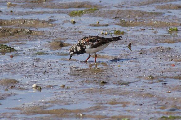 Turnstone, Cacela Velha, 11 April 2012