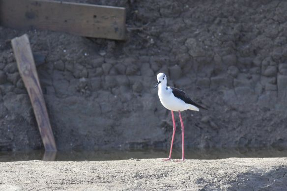 Black-winged stilt, Tavira, 7 April 2012
