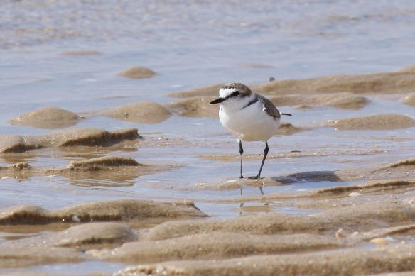 Kentish plover, Tavira island, 10 April 2012