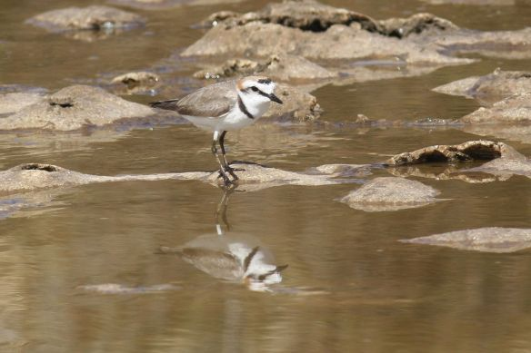 Kentish plover, Tavira salt pans, 9 April 2012