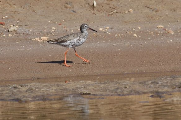 Redshank, Tavira salt pan, 9 April 2012