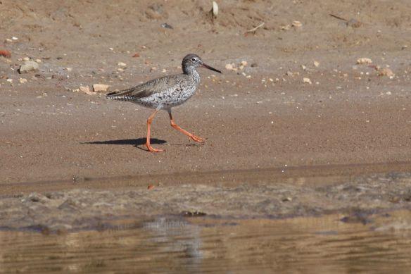 Redshank, Tavira salt pan, 9 April 2012
