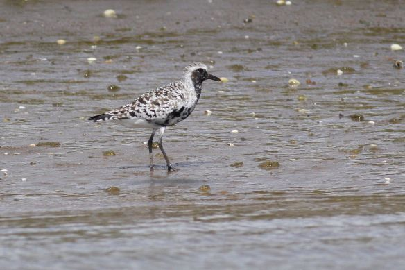 Grey plover on muddy bank, 12 April 2012