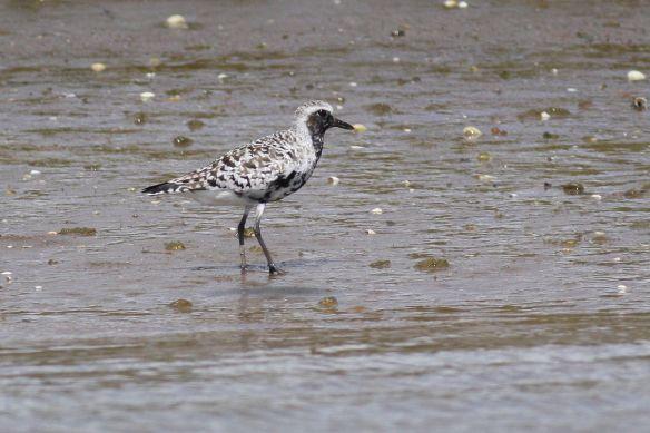 Grey plover on muddy bank, 12 April 2012