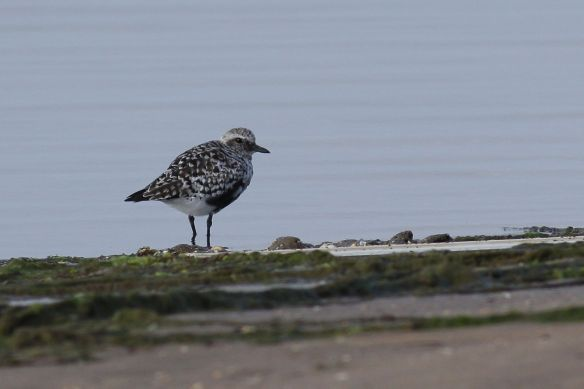 Grey plover, Cacela Velha, 11 April 2012