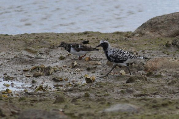 Grey plover and turnstone, Cabanas, 11 April 2012