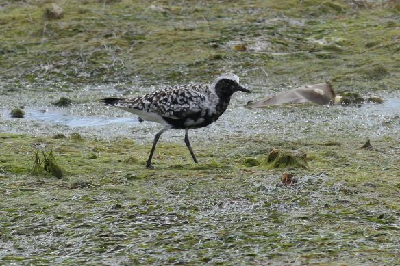 Grey plover, Cabanas, 12 April 2012