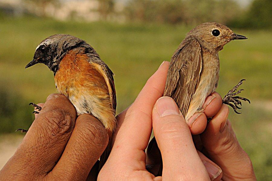 Common Redstart - male (left) & female (right), photo by Jem Babbington