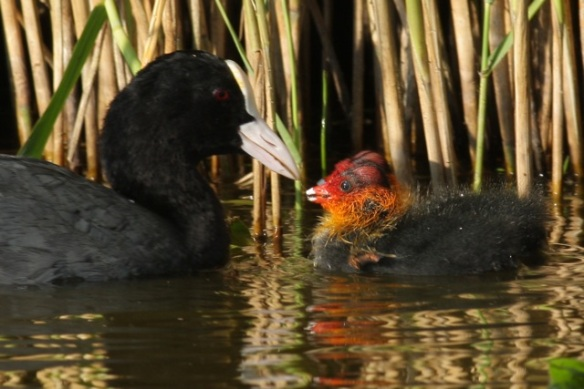 Coot, with chick, 27 May 2012