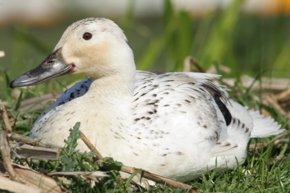 Domestic duck resting, 27 May 2012