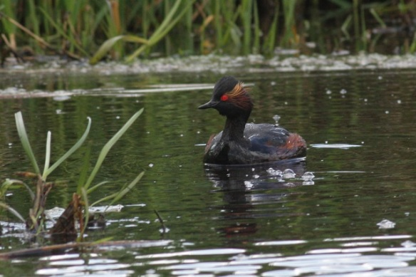 Eared grebe, Groene Jonker, 12 May 2012