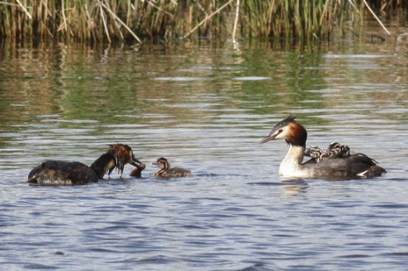 Great crested grebes, Groene Jonker, 12 May 2012