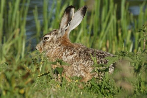 Hare, 27 May 2012