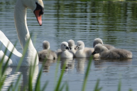 Mute swan with cygnets, 27 May 2012