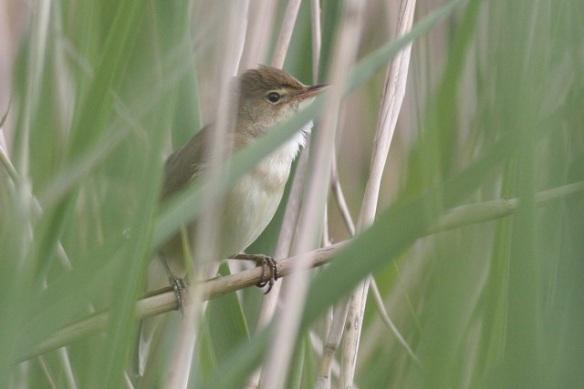 Reed warbler, Groene Jonker, 12 May 2012