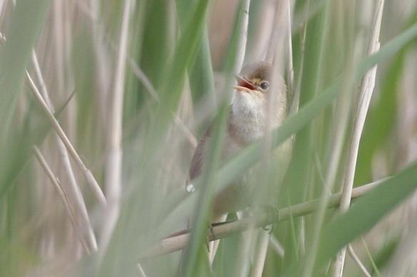 Reed warbler singing, Groene Jonker, 12 May 2012