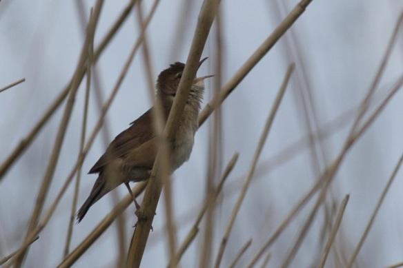 Savi's warbler, Groene Jonker, 12 May 2012
