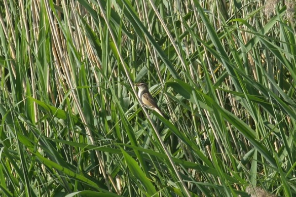 Sedge warbler singing, 27 May 2012