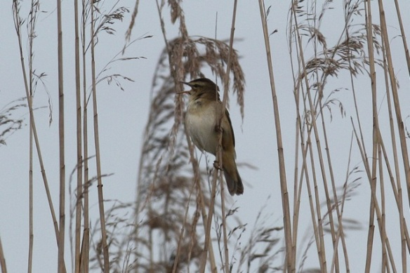 Sedge warbler singing, Groene Jonker, 12 May 2012
