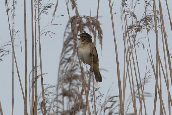 Sedge warbler singing, Groene Jonker, 12 May 2012