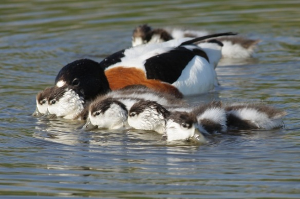 Shelduck swimming with ducklings, 27 May 2012