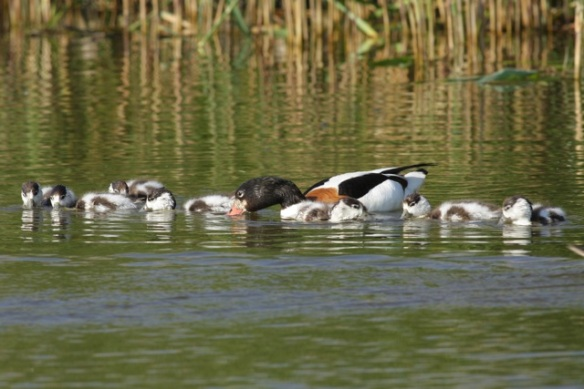 Shelduck with ducklings, 27 May 2012