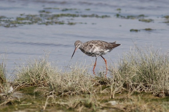 Bar-tailed godwit, Breebaart, 23 July 2012
