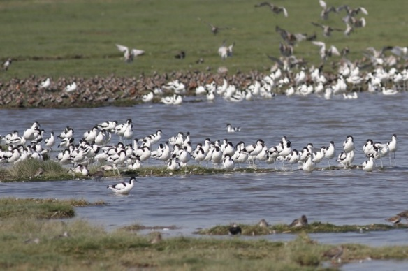 Breebaart avocets and dunlins, 23 July 2012