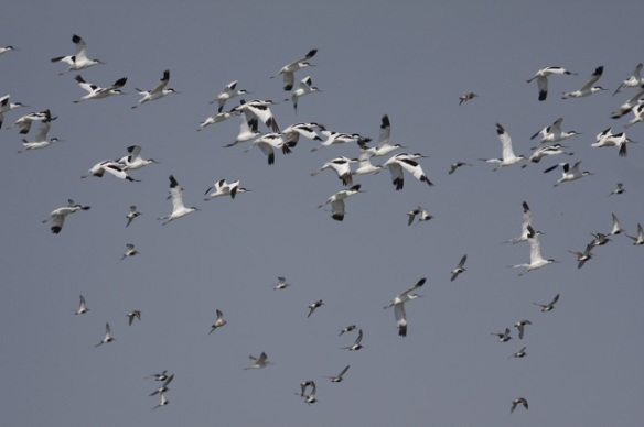 Breebaart avocets and dunlins flying, 23 July 2012
