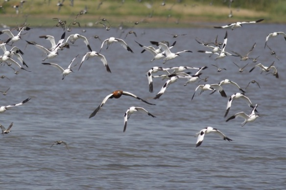 Breebaart avocets and ruddy shelduck, 23 July 2012