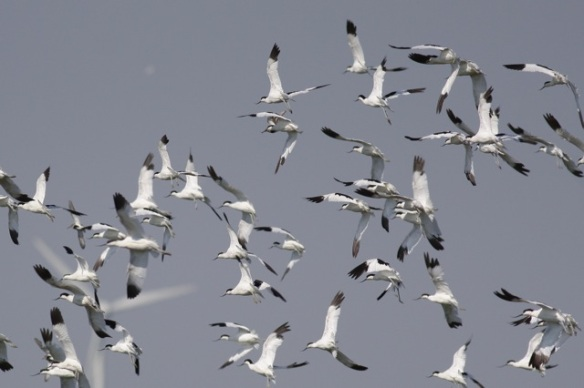 Breebaart avocets flying, 23 July 2012